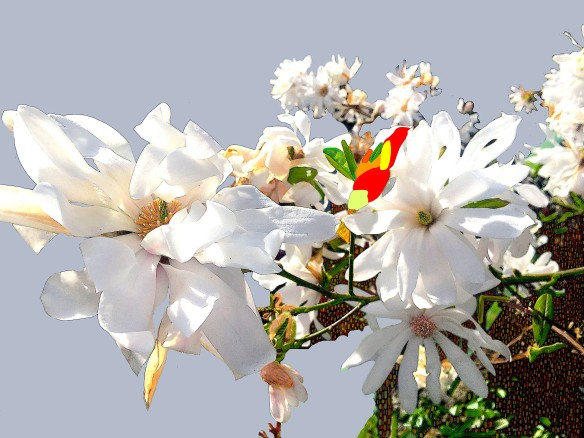 Magnolia3Final0706