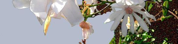 MagnoliaRec